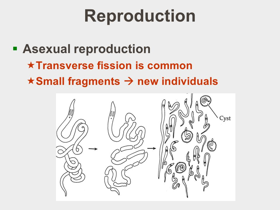 Reproduction Asexual reproduction Transverse fission is common