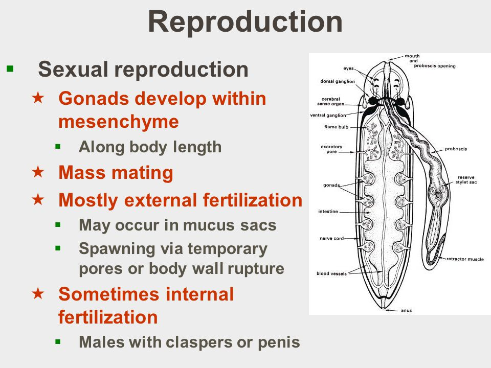Reproduction Sexual reproduction Gonads develop within mesenchyme