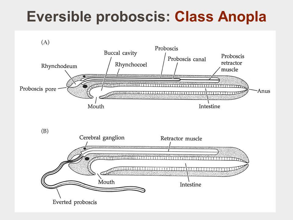 Eversible proboscis: Class Anopla