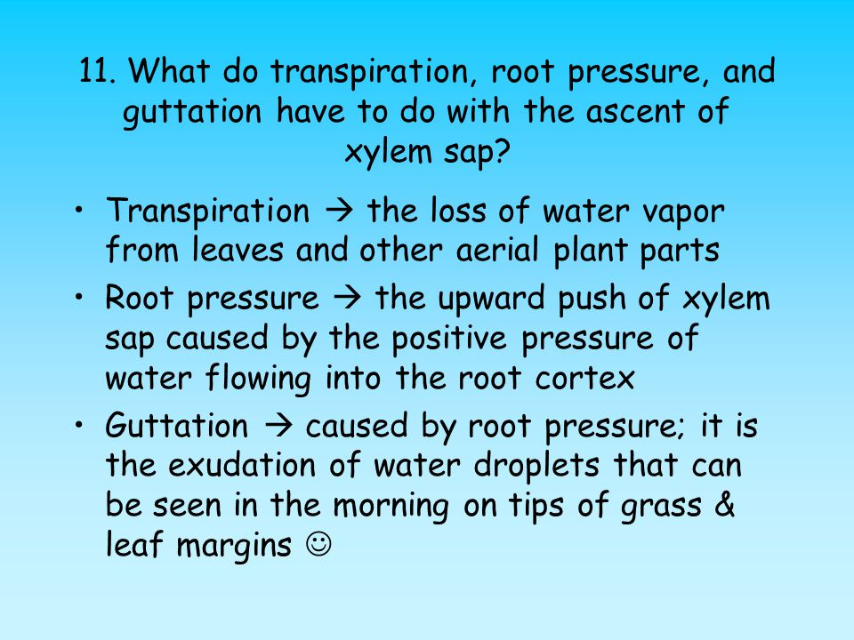 11. What do transpiration, root pressure, and guttation have to do with the ascent of xylem sap