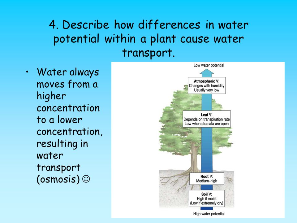 4. Describe how differences in water potential within a plant cause water transport.