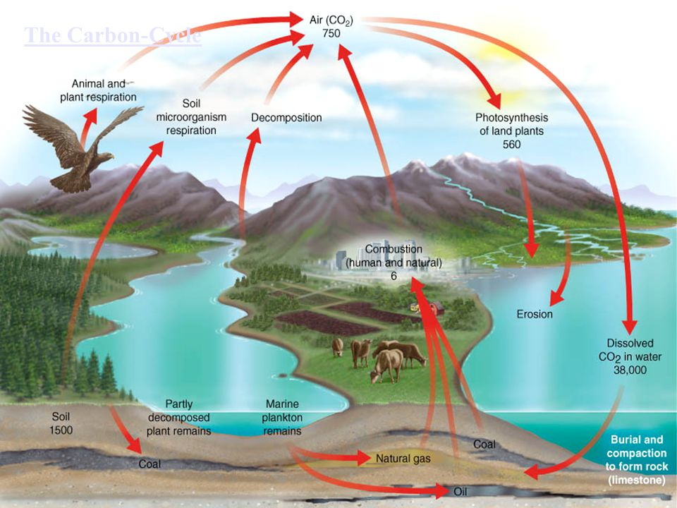 The Carbon-Cycle The Carbon cycle