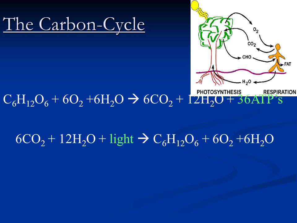 The Carbon-Cycle C6H12O6 + 6O2 +6H2O  6CO2 + 12H2O + 36ATP's