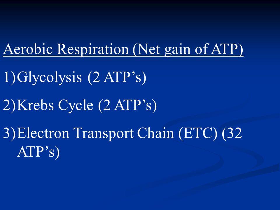 Aerobic Respiration (Net gain of ATP)