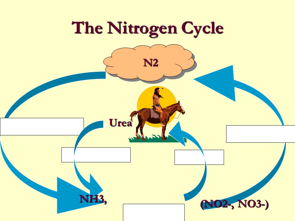 The Nitrogen Cycle N2 Urea NH3, (NO2-, NO3-)