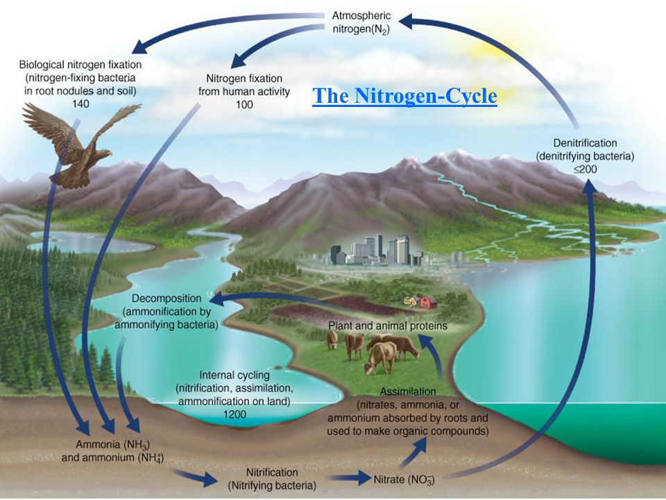 The Nitrogen-Cycle