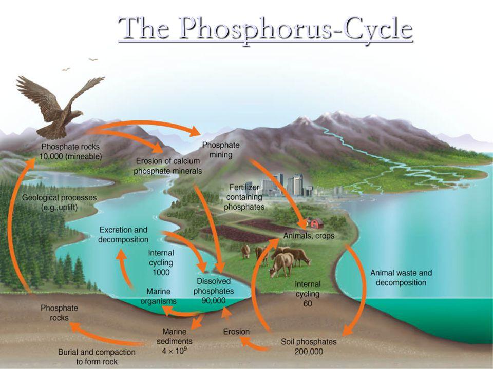 The Phosphorus-Cycle