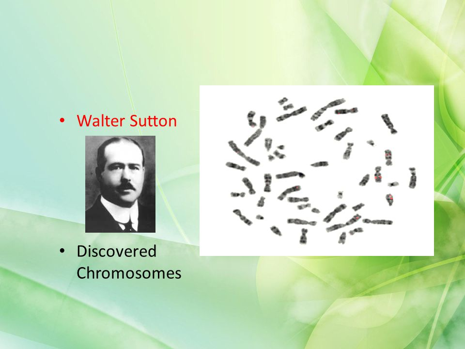 Walter Sutton Discovered Chromosomes