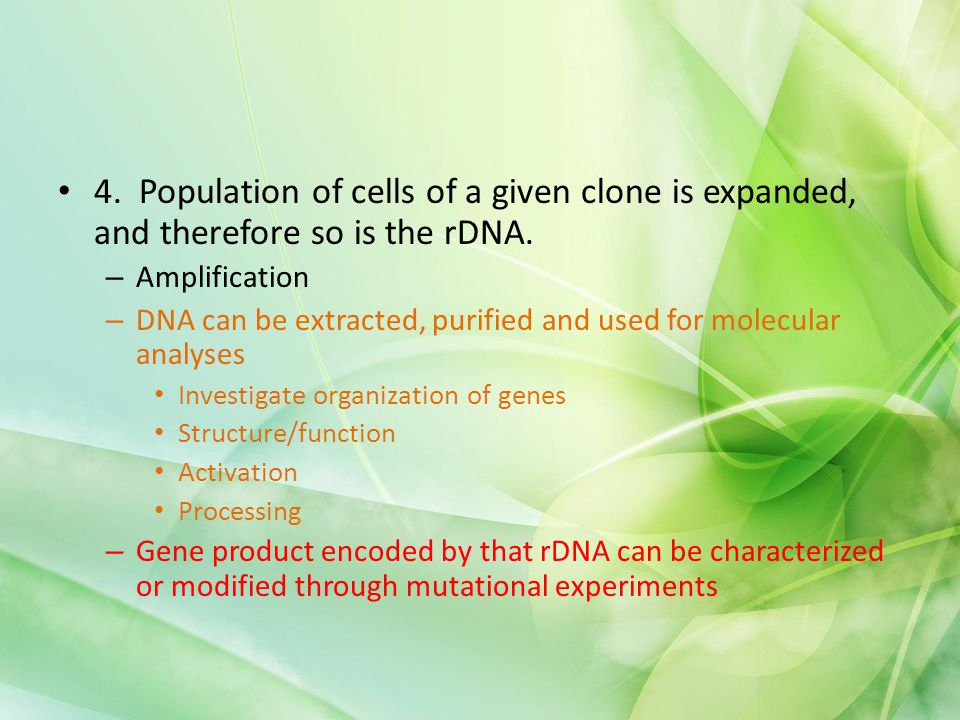 4. Population of cells of a given clone is expanded, and therefore so is the rDNA.