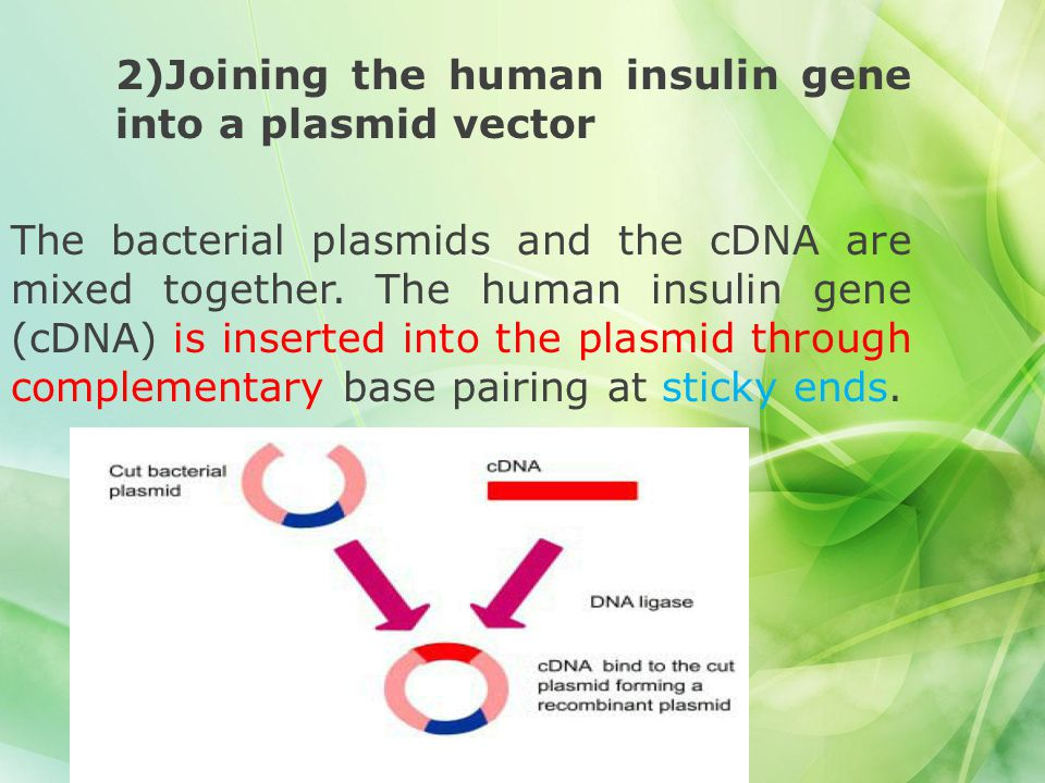 2)Joining the human insulin gene into a plasmid vector