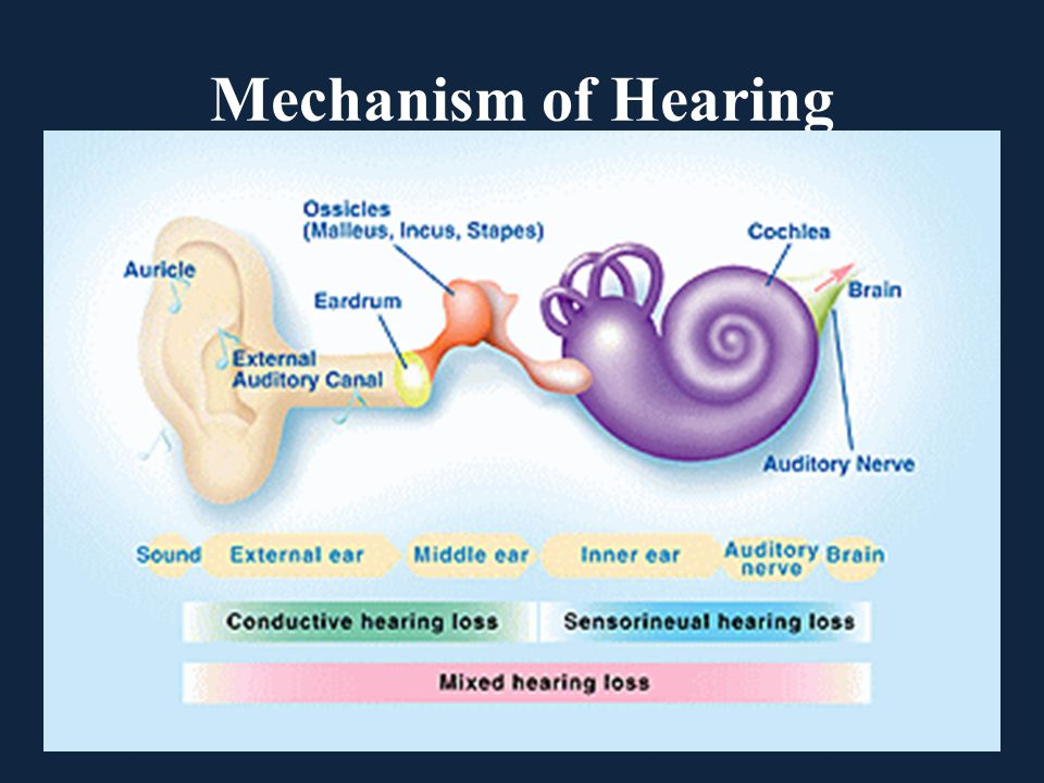 Mechanism of Hearing
