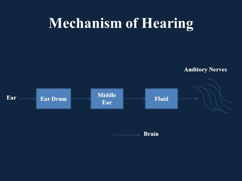 Mechanism of Hearing Auditory Nerves Ear Drum Middle Ear Fluid Ear