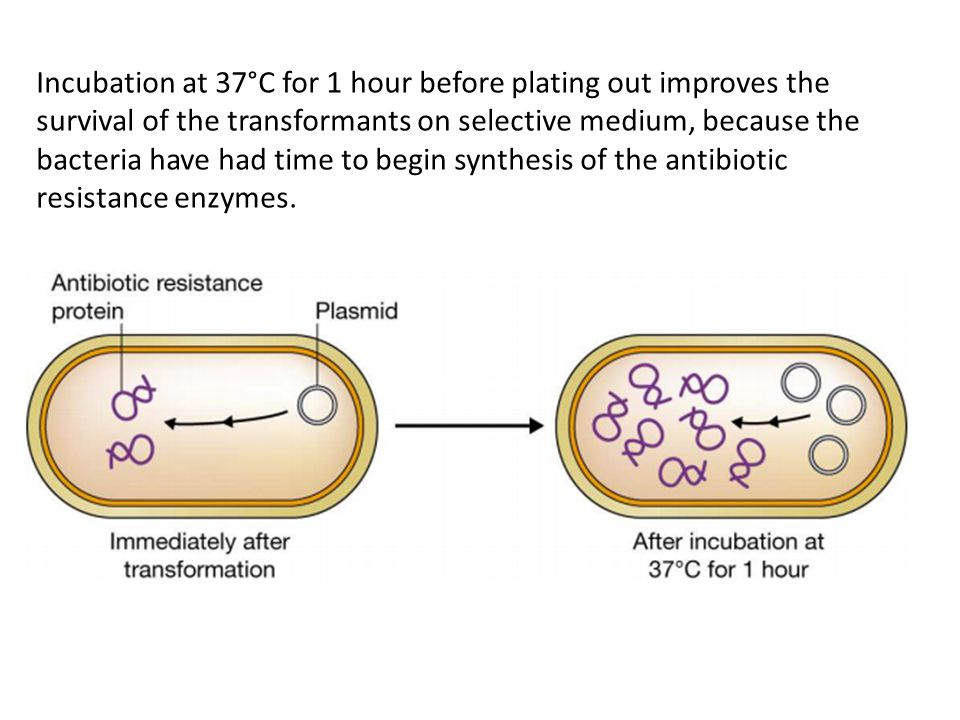 Incubation at 37°C for 1 hour before plating out improves the survival of the transformants on selective medium, because the bacteria have had time to begin synthesis of the antibiotic resistance enzymes.