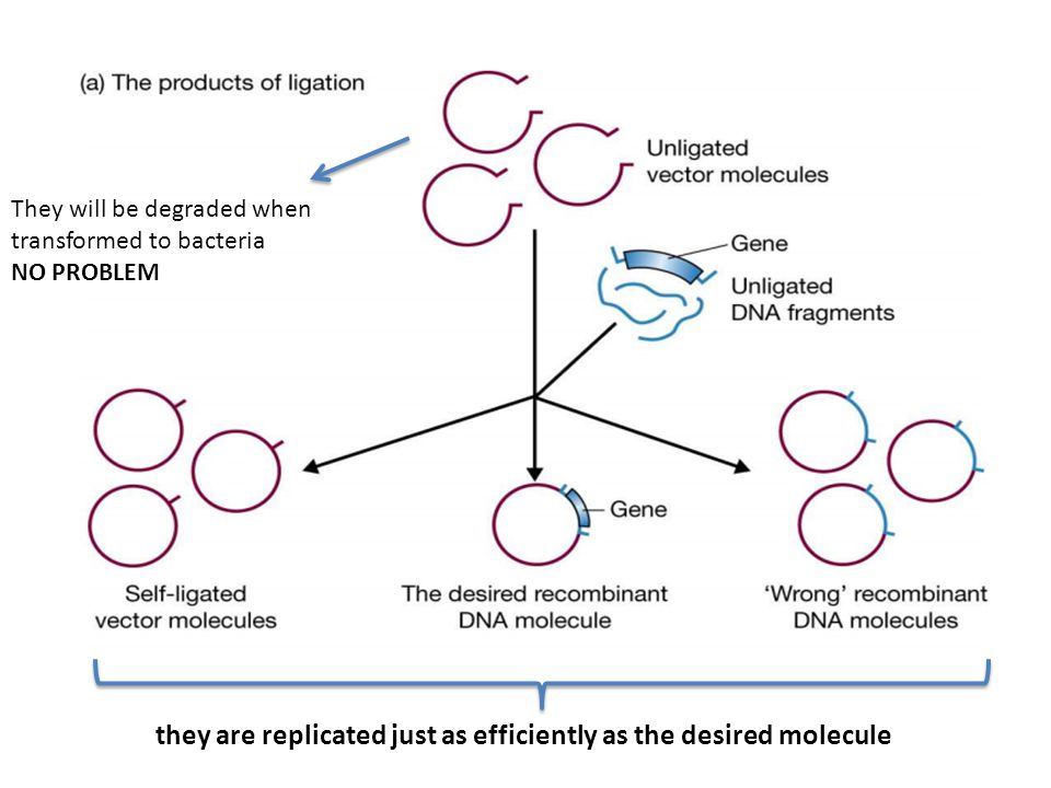 they are replicated just as efficiently as the desired molecule
