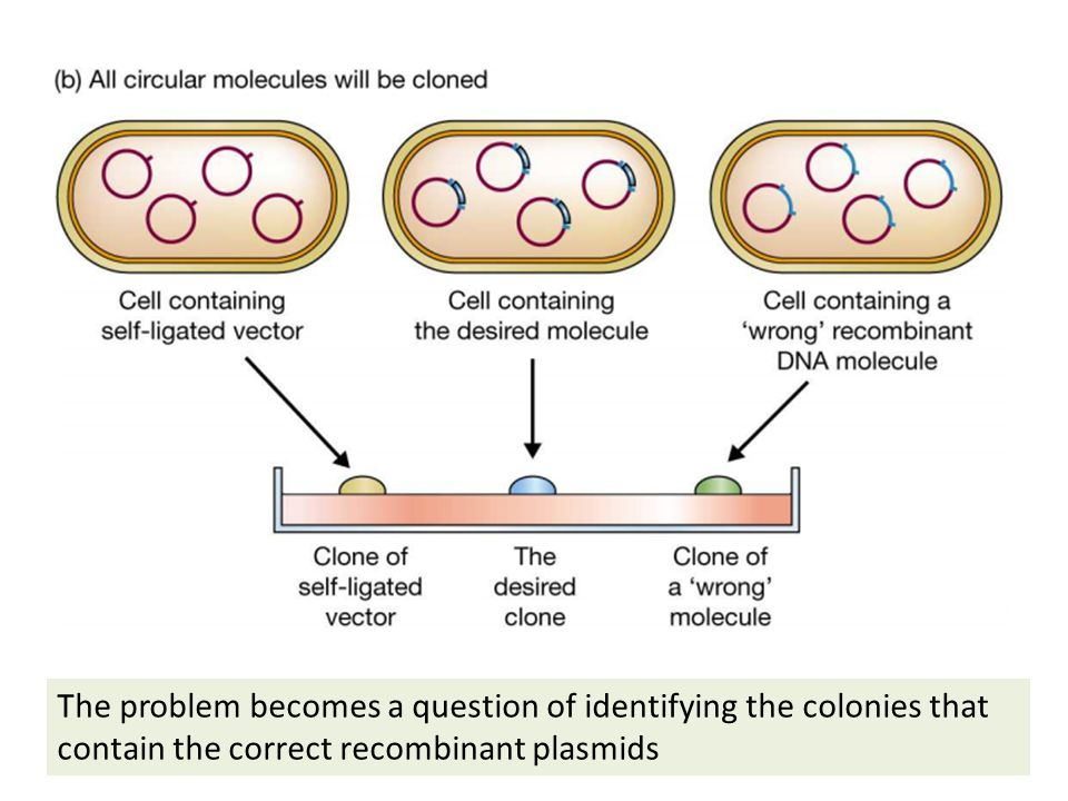 The problem becomes a question of identifying the colonies that contain the correct recombinant plasmids