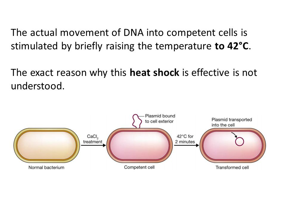 The actual movement of DNA into competent cells is stimulated by briefly raising the temperature to 42°C.