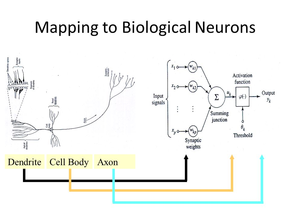 Mapping to Biological Neurons