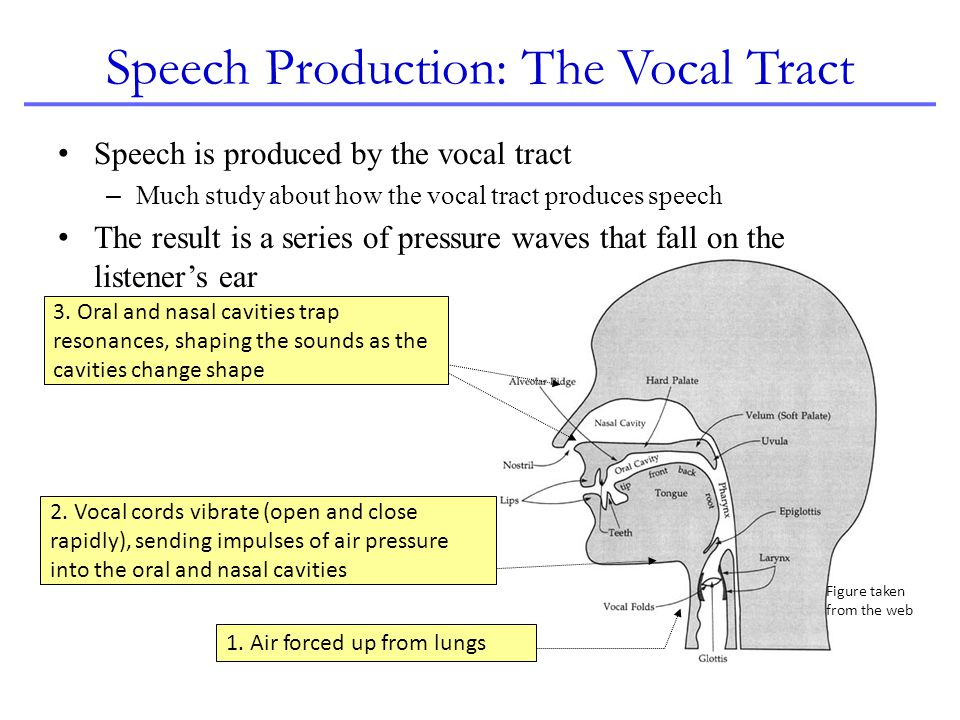 Speech Production: The Vocal Tract