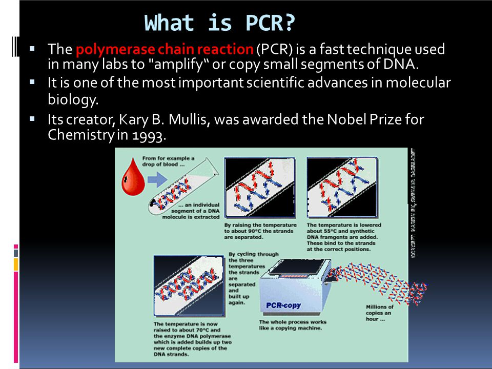 What is PCR The polymerase chain reaction (PCR) is a fast technique used in many labs to amplify or copy small segments of DNA.