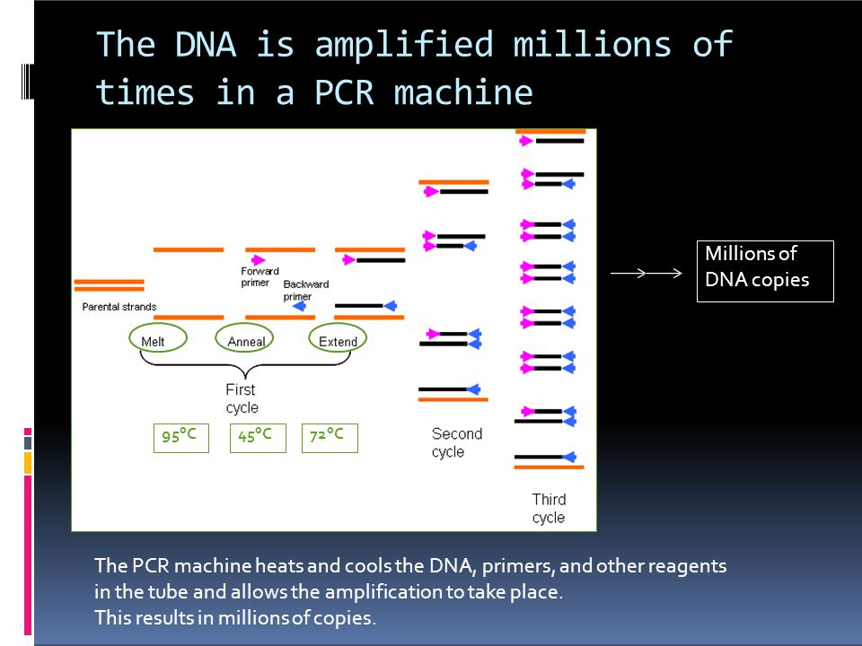 The DNA is amplified millions of times in a PCR machine Millions of