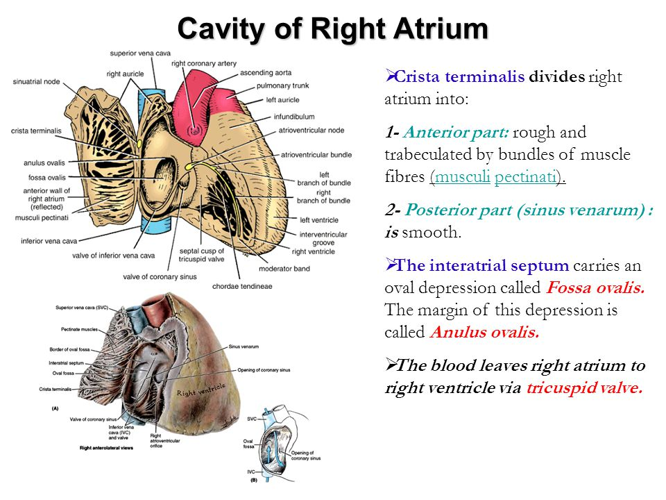 Cavity of Right Atrium Crista terminalis divides right atrium into: