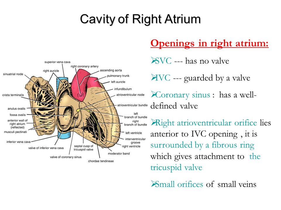 Cavity of Right Atrium Openings in right atrium: SVC --- has no valve