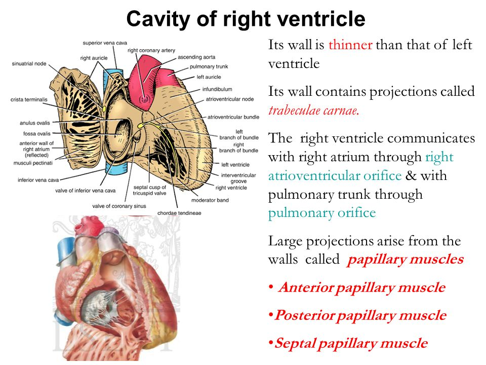 Cavity of right ventricle