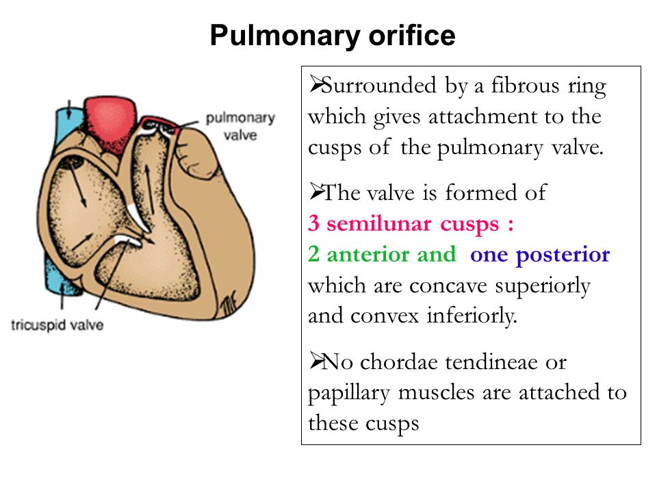 Pulmonary orifice Surrounded by a fibrous ring which gives attachment to the cusps of the pulmonary valve.