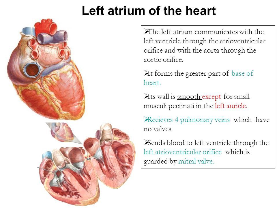Left atrium of the heart