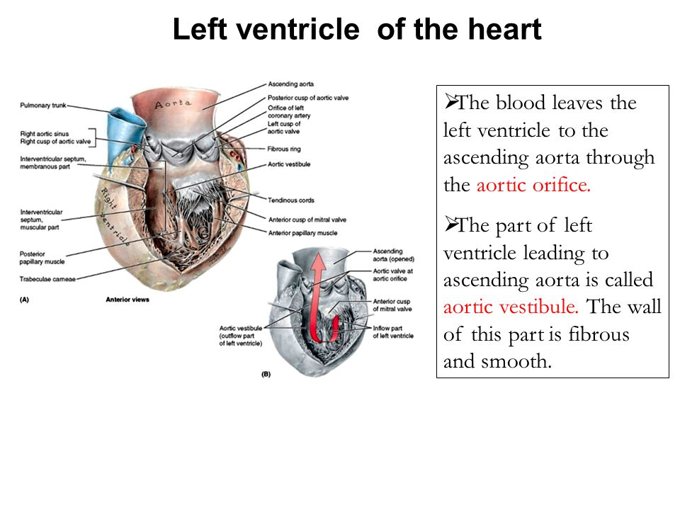 Left ventricle of the heart