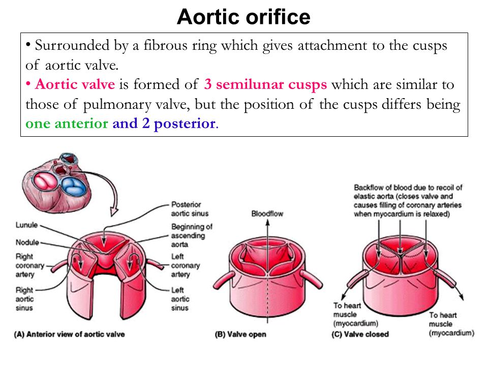 Aortic orifice Surrounded by a fibrous ring which gives attachment to the cusps of aortic valve.