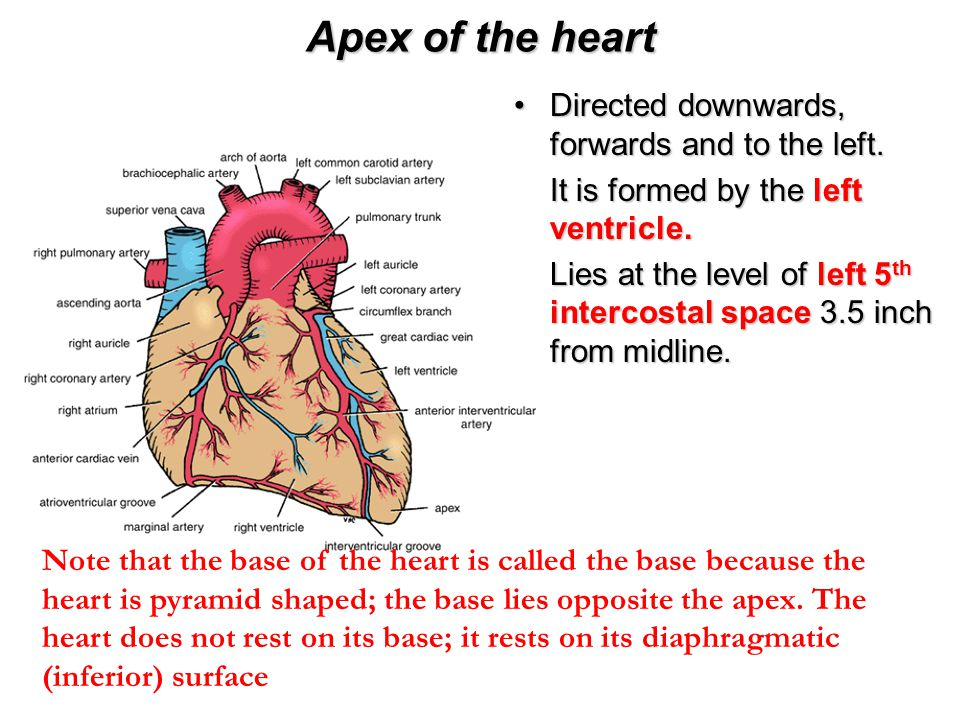 Apex of the heart Directed downwards, forwards and to the left.