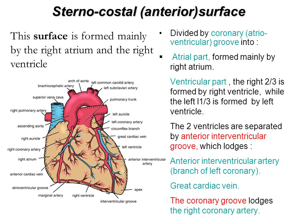 Sterno-costal (anterior)surface
