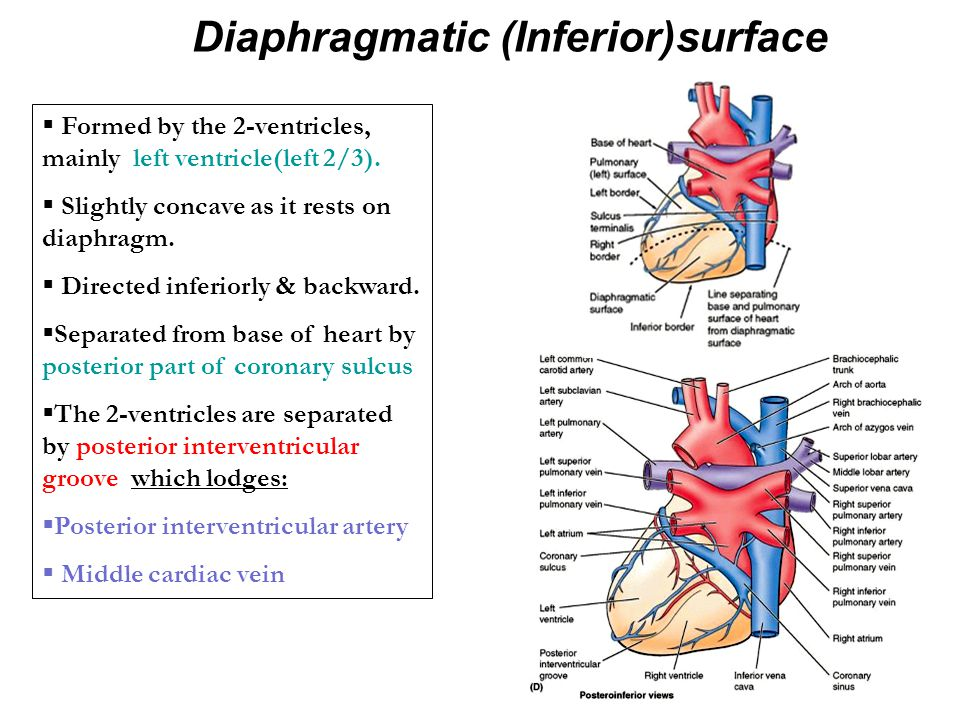 Diaphragmatic (Inferior)surface