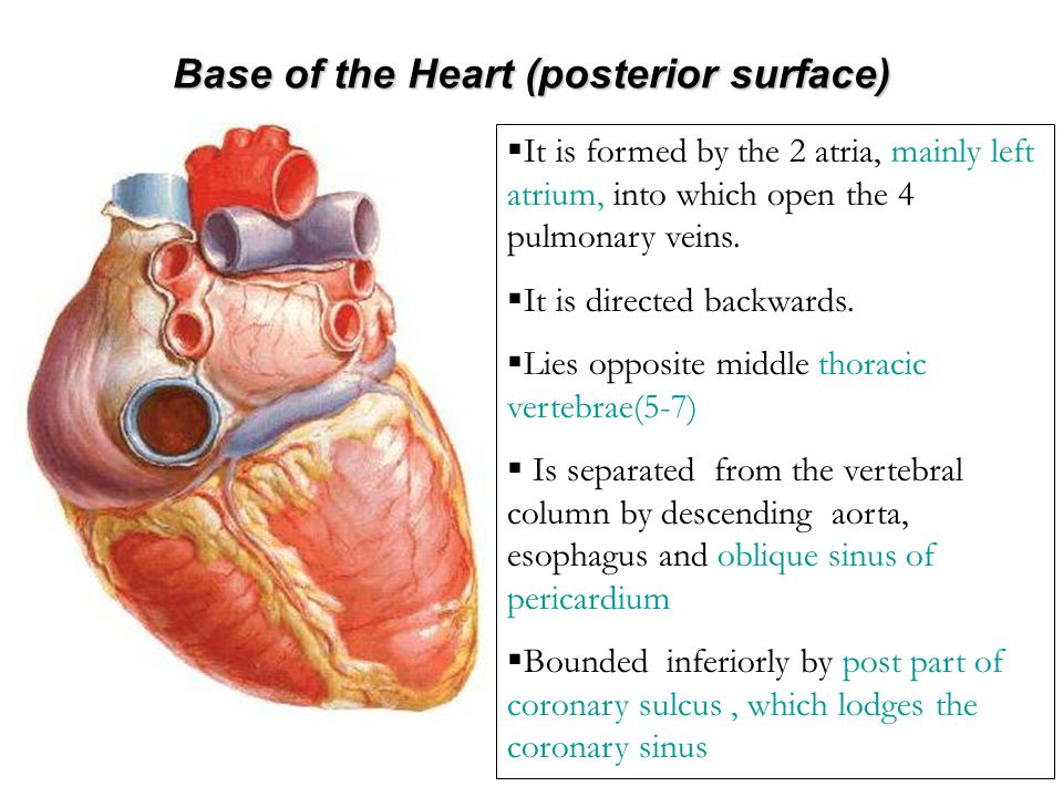Base of the Heart (posterior surface)
