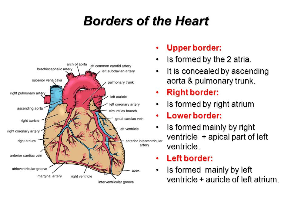 Borders of the Heart Upper border: Is formed by the 2 atria.