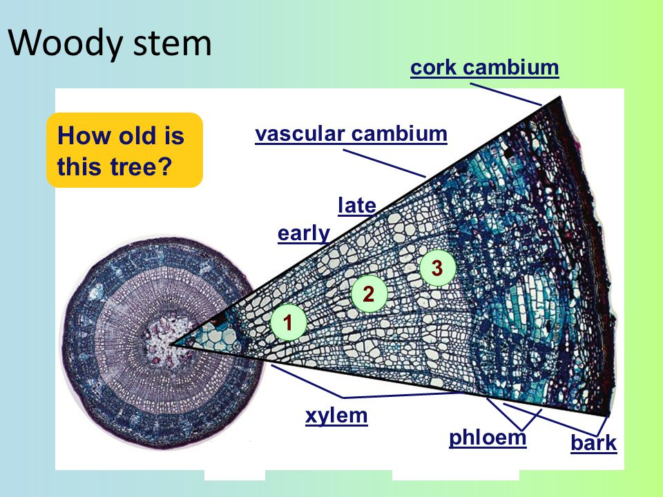 Woody stem How old is this tree cork cambium vascular cambium late