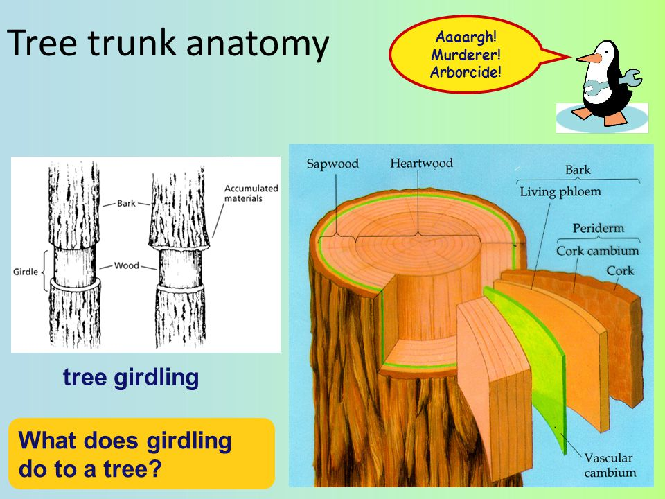 Tree trunk anatomy tree girdling What does girdling do to a tree