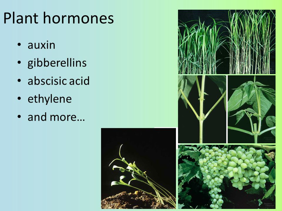 Plant hormones auxin gibberellins abscisic acid ethylene and more…