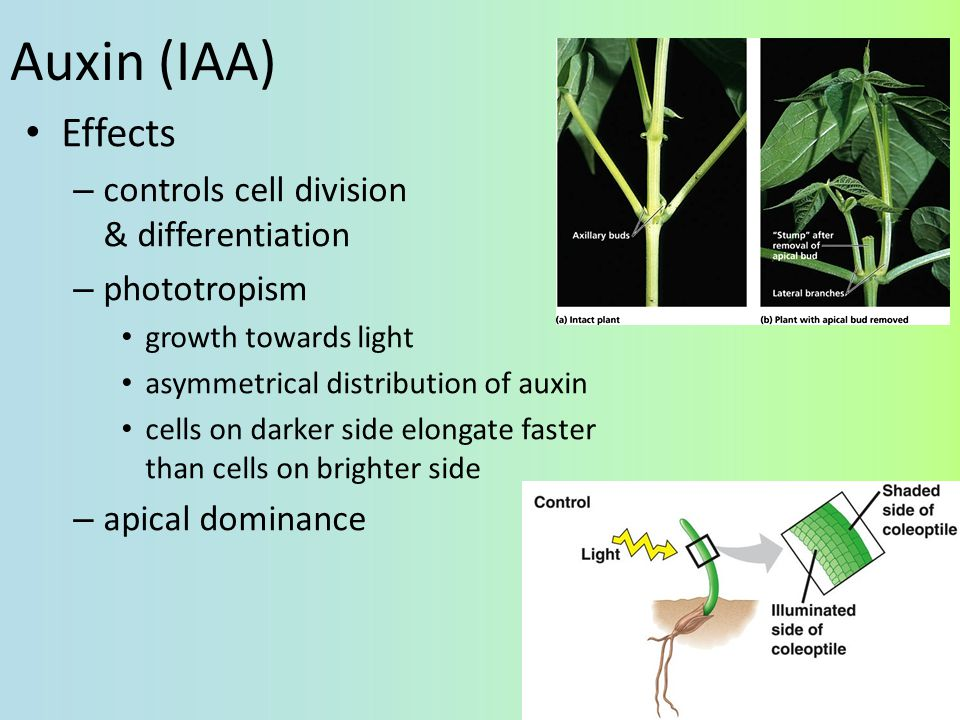 Auxin (IAA) Effects controls cell division & differentiation