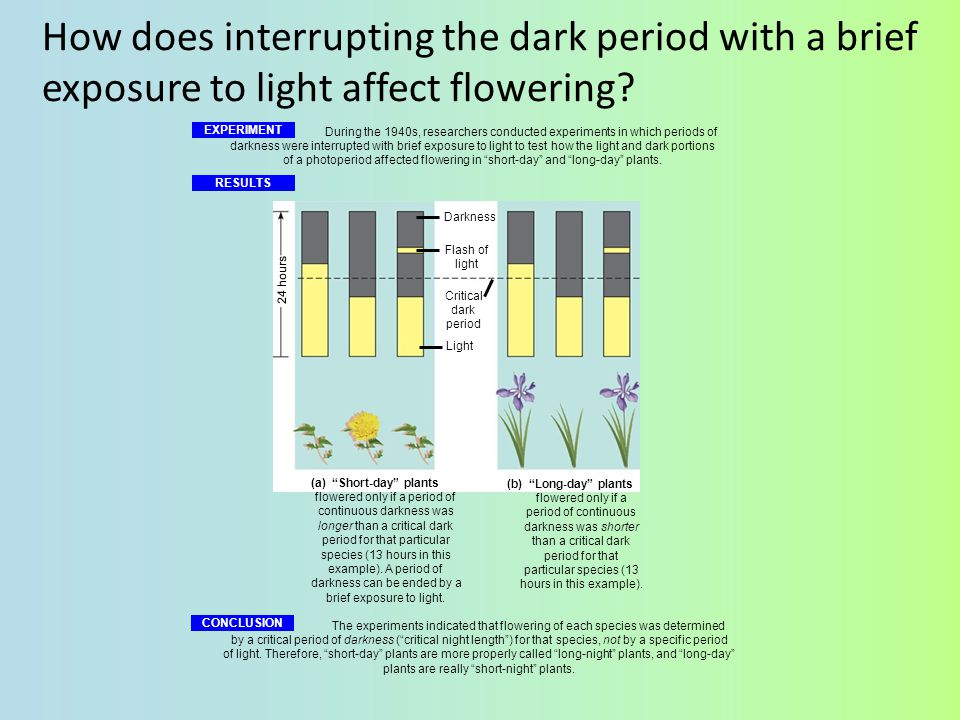 How does interrupting the dark period with a brief exposure to light affect flowering
