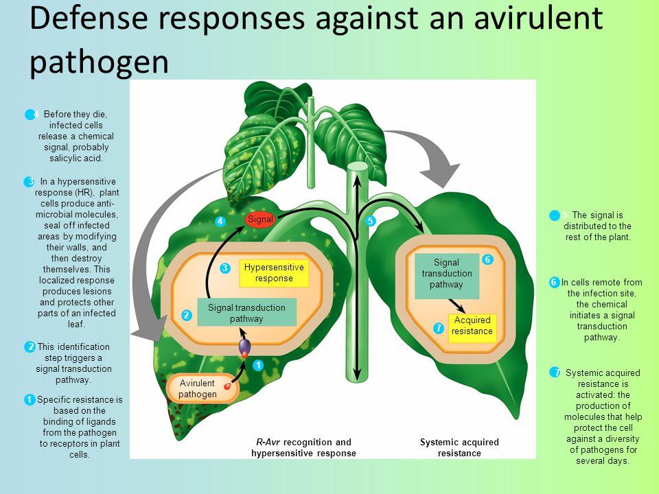 Defense responses against an avirulent pathogen