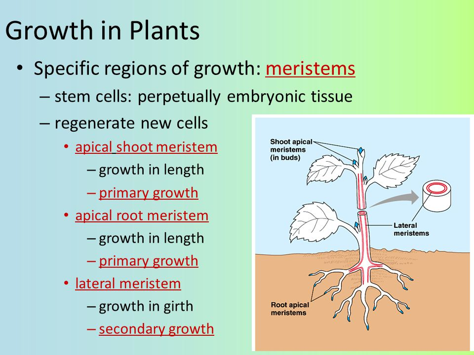 Growth in Plants Specific regions of growth: meristems