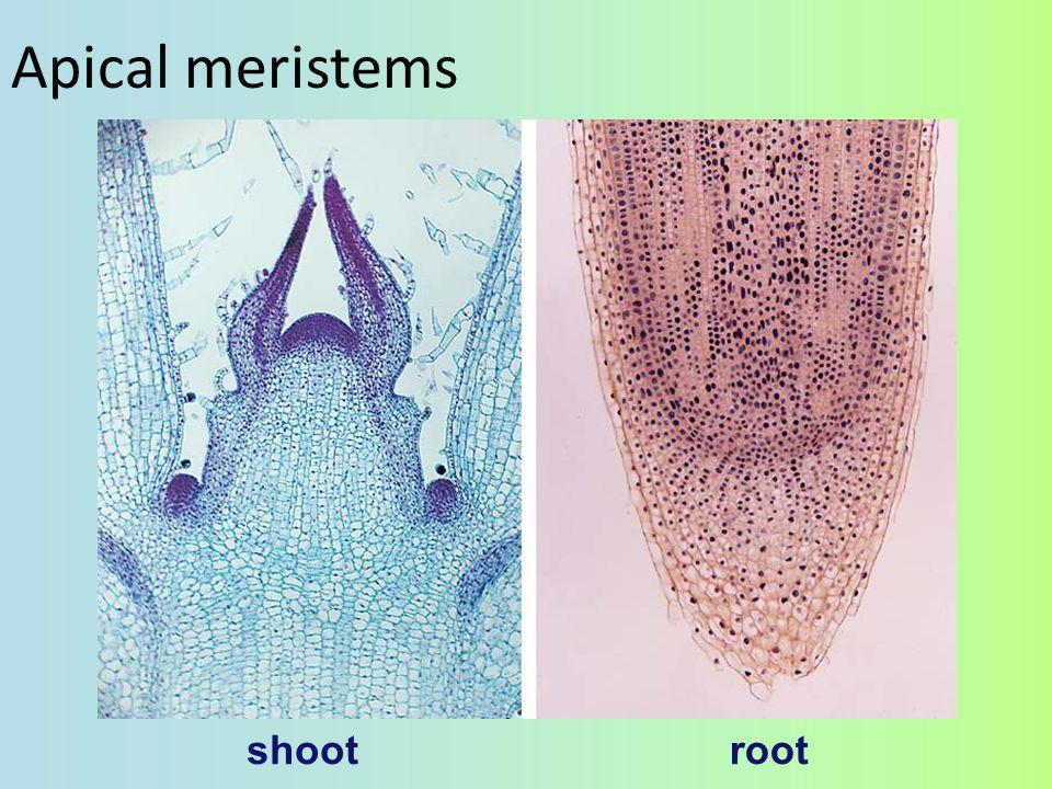 Apical meristems shoot root
