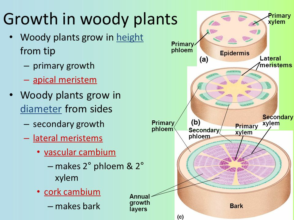 Growth in woody plants Woody plants grow in diameter from sides