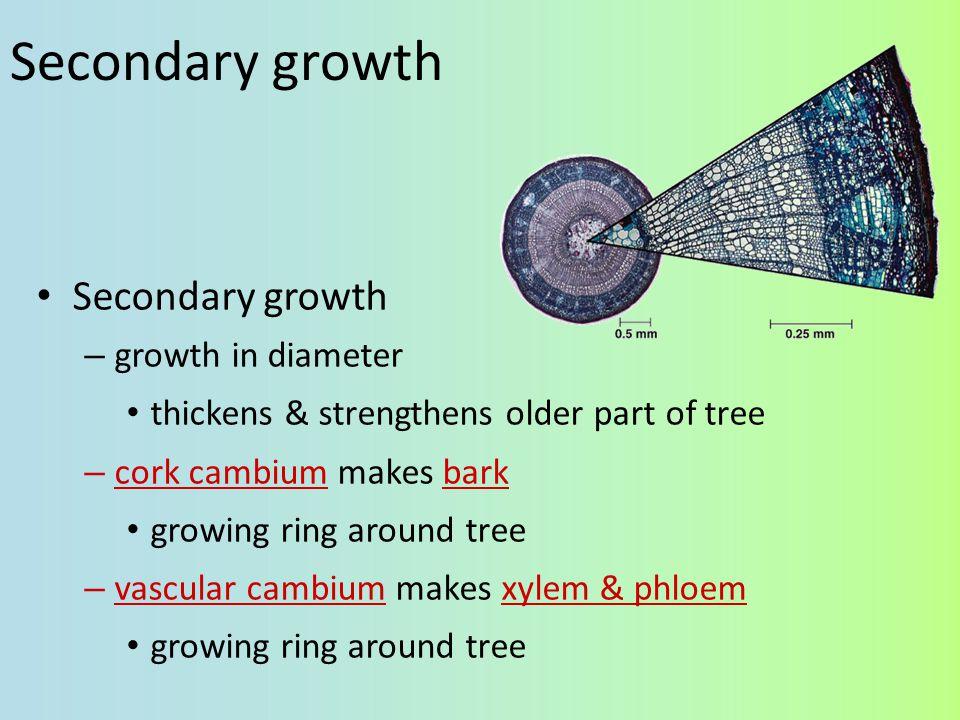Secondary growth Secondary growth growth in diameter