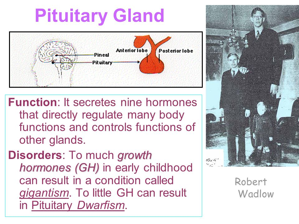 Pituitary Gland Function: It secretes nine hormones that directly regulate many body functions and controls functions of other glands.