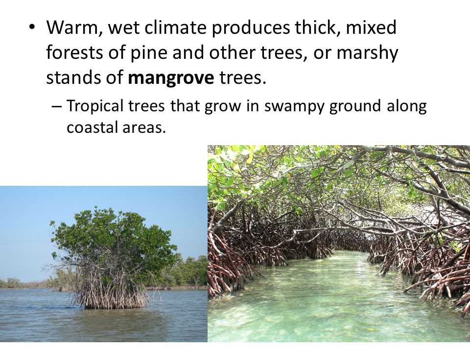 Warm, wet climate produces thick, mixed forests of pine and other trees, or marshy stands of mangrove trees.
