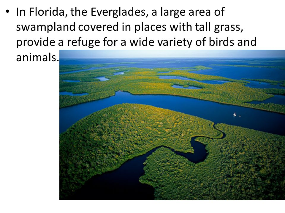 In Florida, the Everglades, a large area of swampland covered in places with tall grass, provide a refuge for a wide variety of birds and animals.