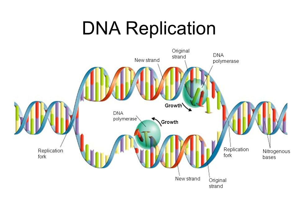 DNA Replication Section 12-2 Go to Section: Original strand